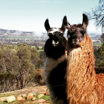 Meet some of the llamas of Fox Hill