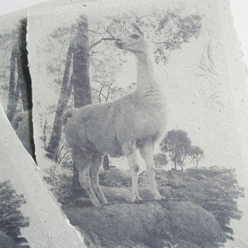 Llama Poo Paper Print - Solitude - Limited Edition Print - Llama - Animal Print - Llama Image - Llama Art - Llama Picture