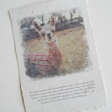 Llama Photo,  Llama Poo Paper, Llama Art, Llama Cria,  Baby Animal, Llama Picture, Llamas, Farm Animals, Llama Gift, Llamas of Fox Hill