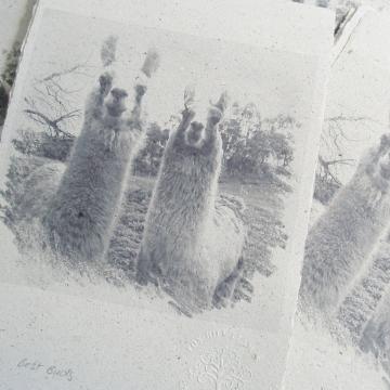 Llama Poo Paper Print, Limited Edition Print, Llamas,  Animals Print,  Best Mates, Llama Art,  Animal Art, Friends Print, Friendship, Pals