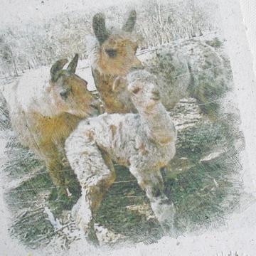 Llama Print,  Llama Poo Paper Print, Llama Art, Llama Cria,  Baby Animal, Brothers, Fathers, Llama Picture, Llamas, Farm Animals, Llama Gift