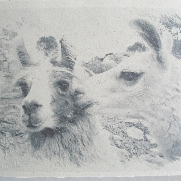Kiss - Llama Poo Paper Print  - Art Print - Limited Edition Print - Llama - Animal Print - Llama Image - Llama Art - Llama Picture